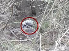 Bijzonder! Wit everzwijntje gespot in Vierhouten