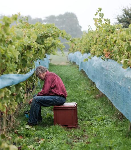 De druiven op De Reeborghesch kregen het voor hun kiezen