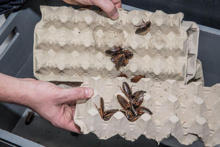 Enkele Argentijnse kakkerlakken.
