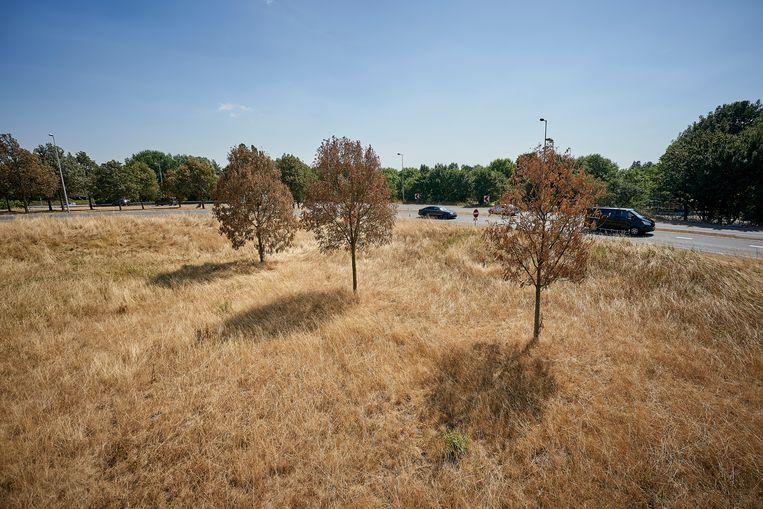 Langs de wegen en in de stad zijn bomen dor en droog door de droogte. Beeld Phil Nijhuis