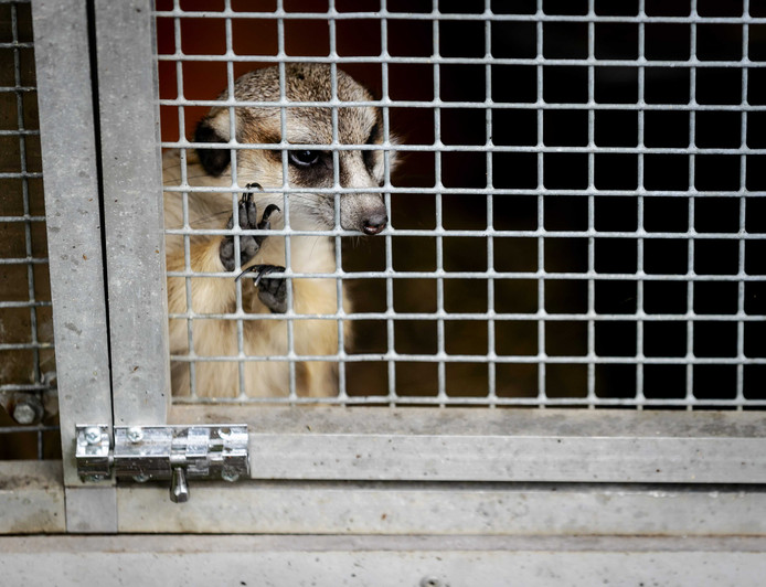 Exotische 'huisdieren' zoals stokstaartjes zijn populair. Stichting Aap uit Almere vangt ze op als baasjes zich geen raad meer weten.