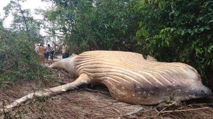 Biologen breken zich het hoofd over bultrug die dood werd aangetroffen in de jungle