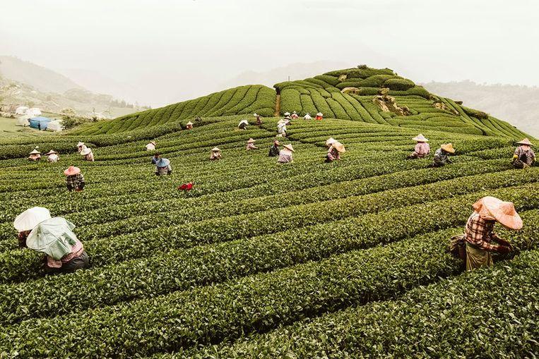 De foto waar Céline Raedt mee in de prijzen viel: een mooi tafereel van theeplukkers in Taiwan.
