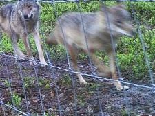 De wolf verkent de Veluwe: 'Gelderland moet rekenen op uitbreiding leefgebied'