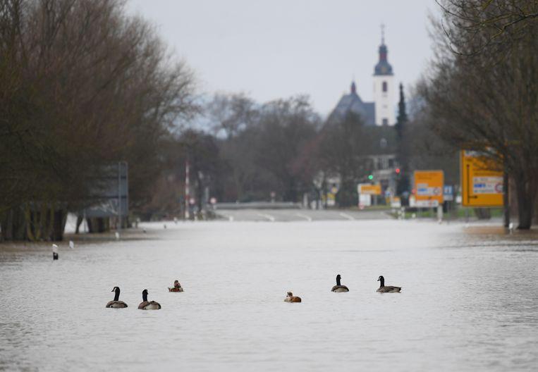 Ook de ganzen profiteren ervan en wagen zich de baan op. De Rijn trad ook hier buiten haar oevers.