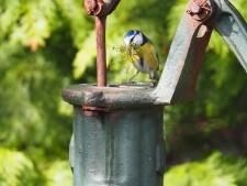 Mooie lentebeelden in de Betuwe: pimpelmees nestelt in de waterpomp