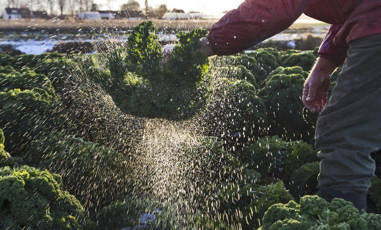 Een boer oogst boerenkool op zijn akker. Beeld anp