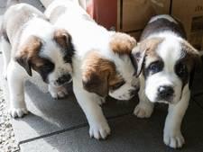 Hondentrainers: Knuffelen met pups tegen examenstress is slecht plan