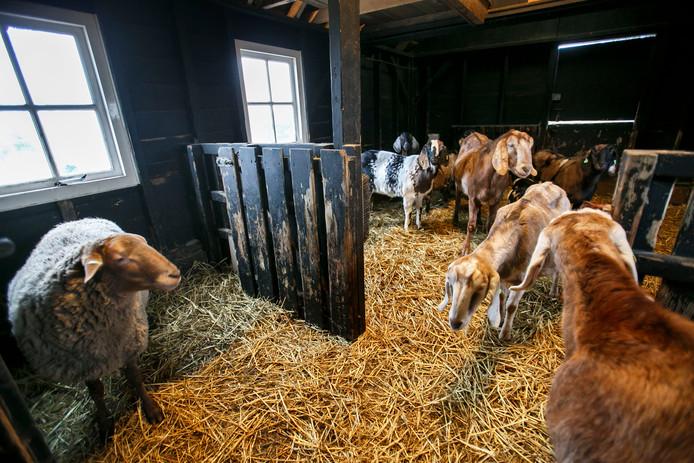 Deze geiten  in een stal bij kinderboerderij De Boezemvriend hoeven niet weg.