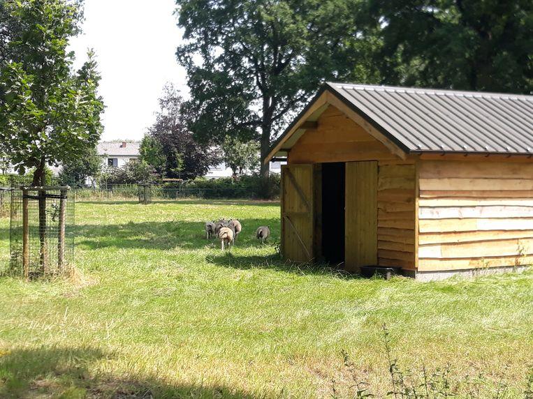 De schapen in park Hemelrijk hebben een mooi nieuw onderkomen.