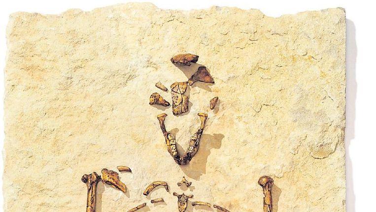 Lucy, in 1974 een van de grootste ontdekkingen uit de paleoantropologie. Beeld