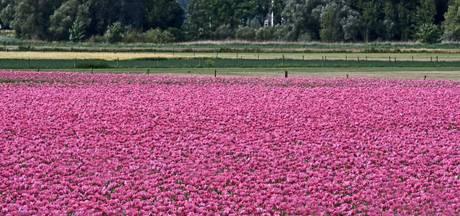 Honderdduizenden roze papaverbloemen in Erlecom