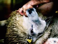 Raad van State: Maasdriel moet duidelijker zijn voor schapenslachter