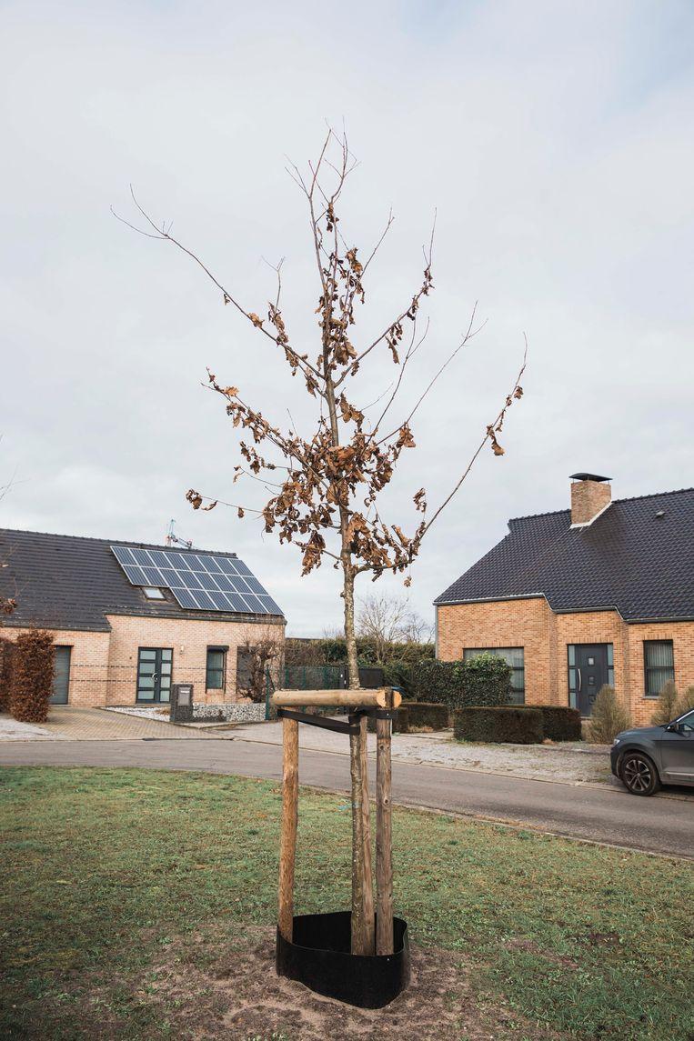 Klimaatbomen in Neerpelt.
