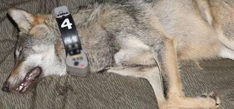 Duitse wolf Naya bracht de kerst door in de Achterhoek