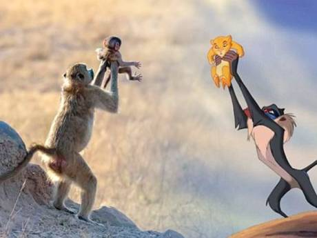 Trotse apenmoeder speelt legendarische scène uit Disney's De Leeuwenkoning na