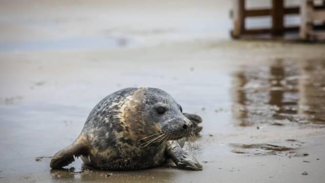 """'Blankenbergse' zeehond zwemt probleemloos tot in Engeland: """"Fantastisch, dáárvoor doen we het"""""""
