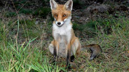 12.500 vossen geschoten, Hermes Sanctorum pleit voor tijdelijk jachtverbod