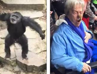 Ondeugende chimpansee bekogelt onfortuinlijke oma met uitwerpselen. Ouch!