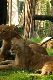 Leeuwengroep DierenPark bij elkaar