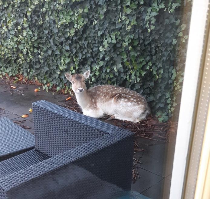 Het hert is elders in het dorp ontsnapt en kwam via de Waal in een tuin aan de Kerkstraat terecht.
