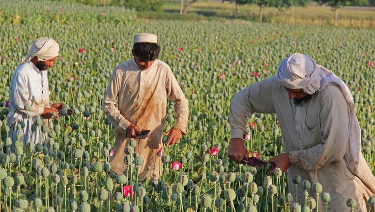 Opiumplukkers in Afghanistan Beeld ap