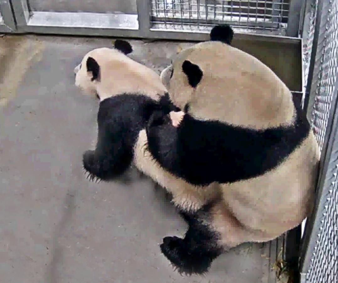 De eerste paring van de panda's van Ouwehands Dierenpark in Rhenen.