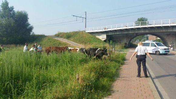 Agenten brengen de runderen veilig terug naar de wei.
