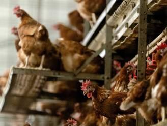Al 19 gevallen van vogelgriep in ons land sinds november