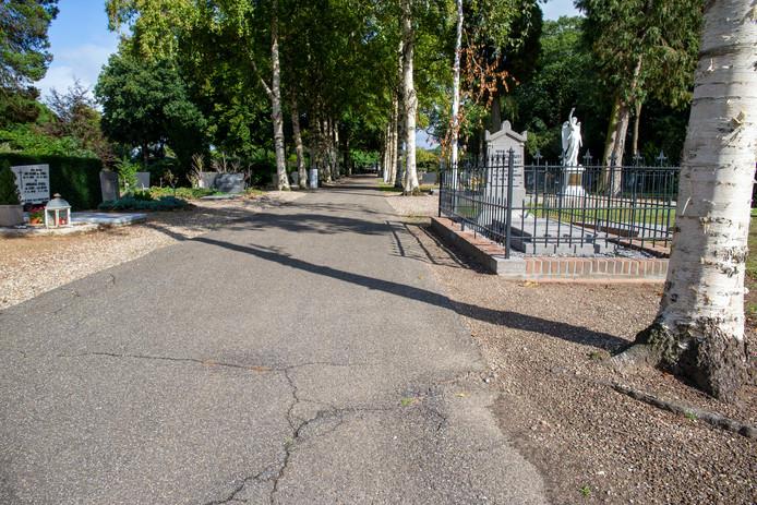 De wortels van de goudberken op de begraafplaats in Bennekom drukken het asfalt van het pad omhoog.
