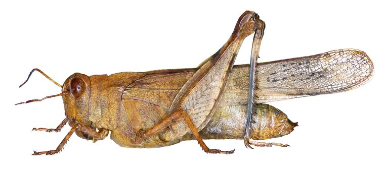 Blue-winged Grasshopper on white Background - Oedipoda caerulescens (Linnaeus, 1758) insecten tellen Beeld