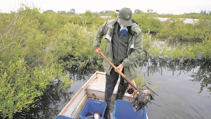 Een medewerker van Staatsbosbeheer ruimt een dode watervogel in Monnickendam.