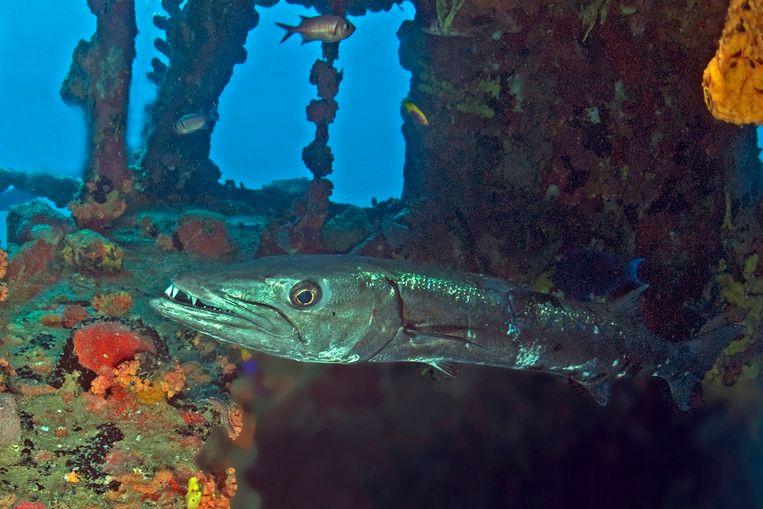 De grote barracuda. Beeld Marion Haarsma