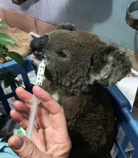 Vrouw redt verbrande koala uit Australische vlammenzee