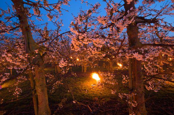 Haspengouwse fruitboeren zetten soms vuurpotten uit om de bloesems te beschermen voor de nachtvorst.