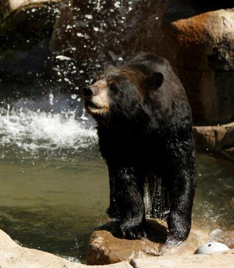 Un ours tue un soigneur devant les yeux des visiteurs d'un zoo à Shanghai