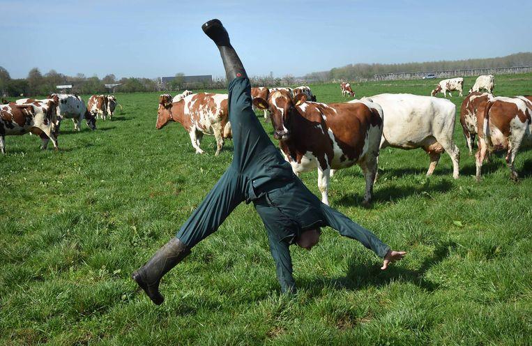De koeien mogen weer naar buiten en deze biologische boer in Beneden-Leeuwen is er maar wat blij mee.  Beeld Marcel van den Bergh