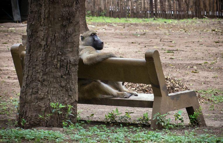 Een baviaan zit op een bankje in Gorongosa National Park. Beeld Bram Lammers