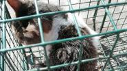 Commotie na gruwelijke beelden van gecastreerde zwerfkattin in Lo-Reninge