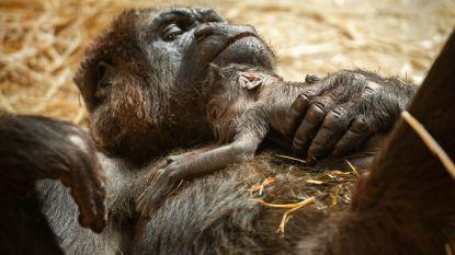 Het is een meisje! ZOO Antwerpen maakt geslacht van babygorilla bekend
