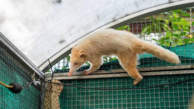 'Buidelrat' in boom blijkt albino neusbeer: illegaal gehouden dier krijgt tijdelijke thuis in Kapels opvangcentrum