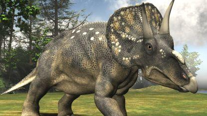 Dinosauriërs gebruikten hun hoorns niet in eerste plaats om te vechten maar voor iets heel anders