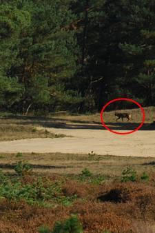 Wolf gespot op de Veluwe