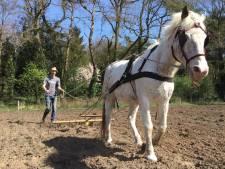 Paard Spikkel buffelt voor Raalter boerderijwinkel