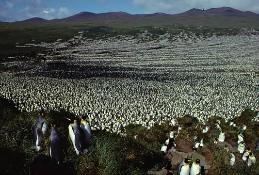Foto uit 1982. Tweeënhalf miljoen koningspinguïns op Île aux Cochons.