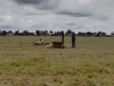 Voorrondes WK schapendrijven langs A12 in Waddinxveen