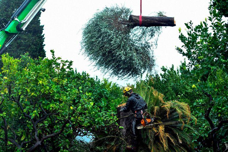 Uit een paleistuin in Zuid-Frankrijk wordt een zieke olijfboom verwijderd. De boom is aangetast door xylella fastidiosa, de bacterie die vanuit Zuid-Italië steeds verder naar het noorden oprukt en olijfbomen verwoest, een proces dat al jaren aan de gang is.  Beeld AFP