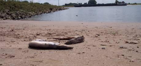 Het raadsel van de geknakte paling in de Waal: 'Misschien is er een link met laagwater'
