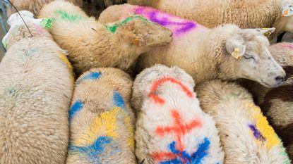 Zes schapen in beslag genomen bij controles
