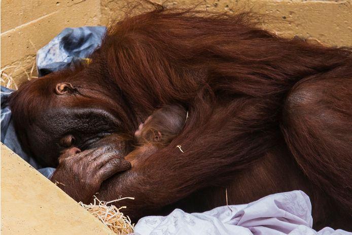 In Ouwehands Dierenpark is een Orang Oetan-jong geboren